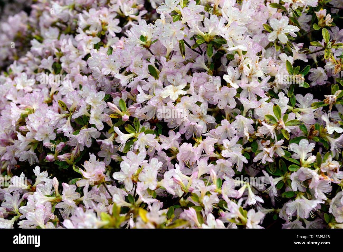 Azalea Kurume Aya Kammuri White Lilac Flower Flowers Flowering Stock