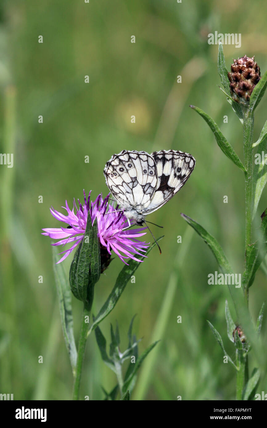 Marbled White Melanargia galathea butterfly on Knapweed flower - Stock Image