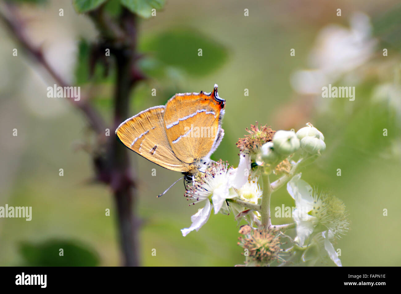 Brown Hairstreak Thecla betulae butterfly on bramble blossom in Bernwood forest Oxfordshire England - Stock Image