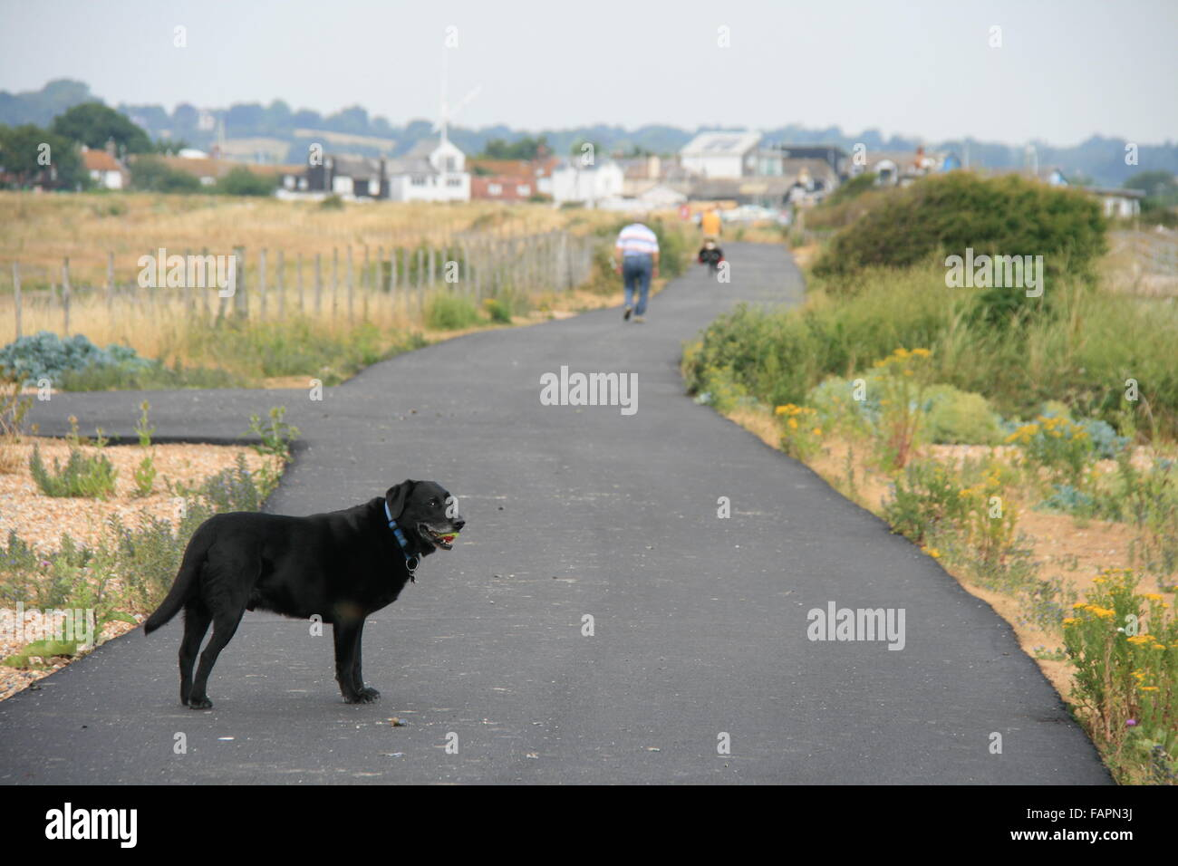 A SENIOR BLACK LABRADOR MALE DOG OUT FOR A WALK,A DISTANT VIEW SHOWING WHOLE DOG HOLDING BALL AND VIEW VISIBLE - Stock Image