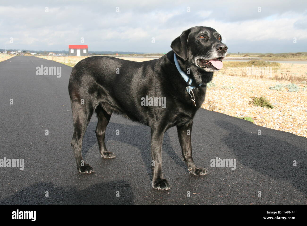 A SUNNY VIEW ON A COASTAL FOOTPATH OF AN OLDER BLACK LABRADOR MALE DOG - Stock Image