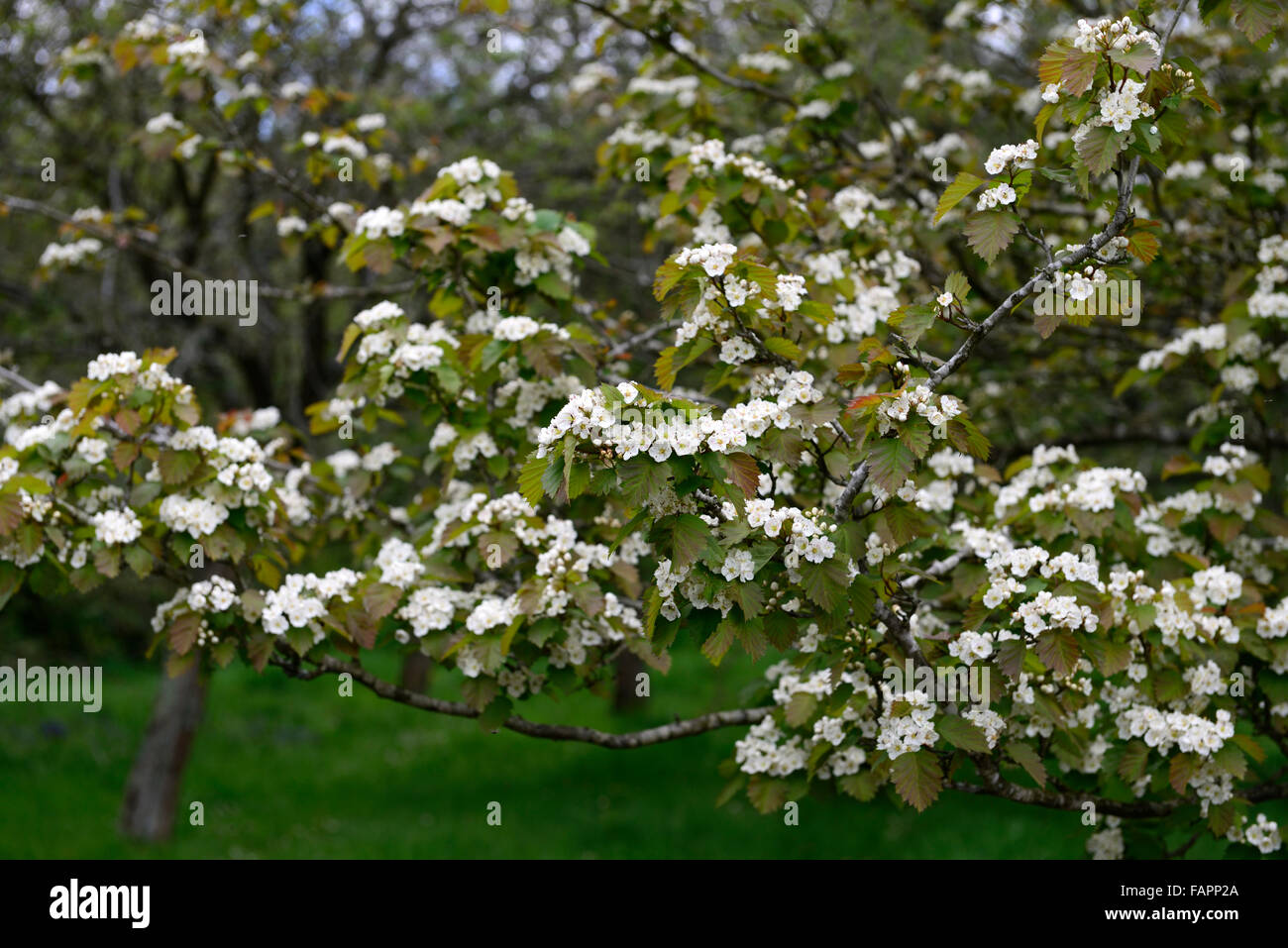 Hawthorn tree Crataegus monogyna white flower flowers flowering spring tree shrub RM Floral may mayblossom maythorn - Stock Image