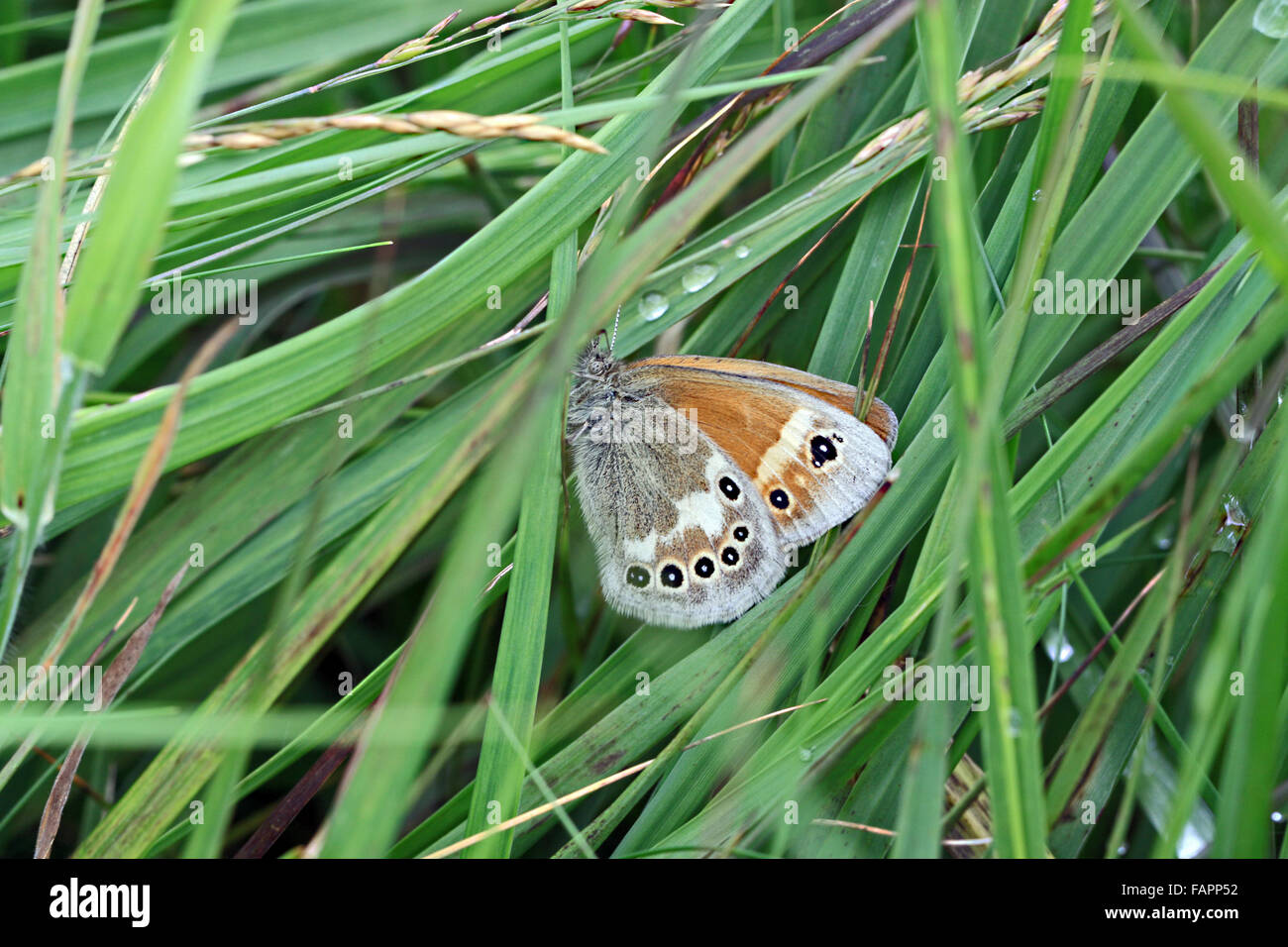 Large Heath (coenonympha tullia) butterfly on Whixall and Fenns moss nature reserve Shropshire England - Stock Image