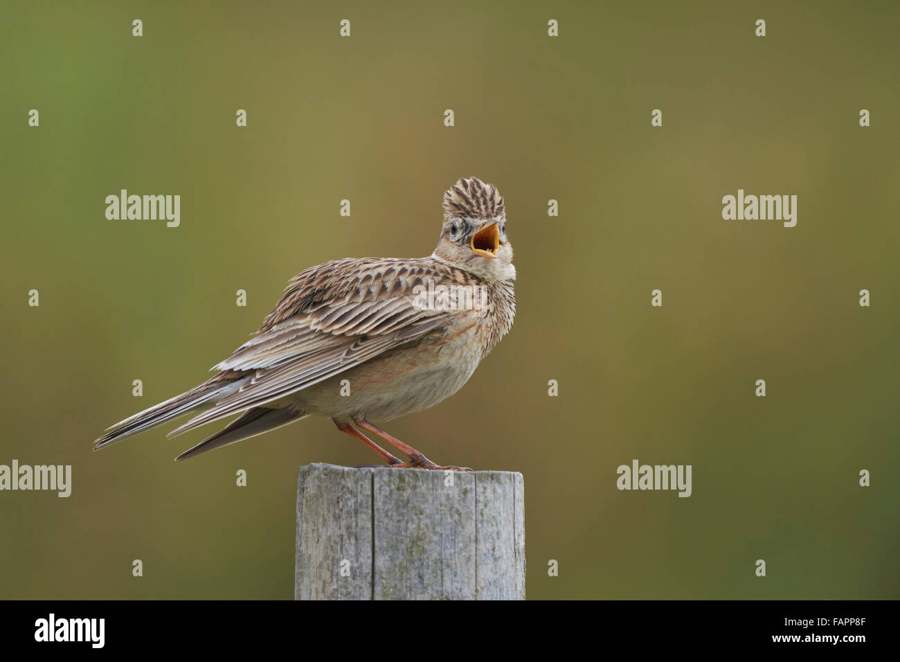 SkyLark Alauda arvensis,adult singing from post,Nottinghamshire,UK - Stock Image