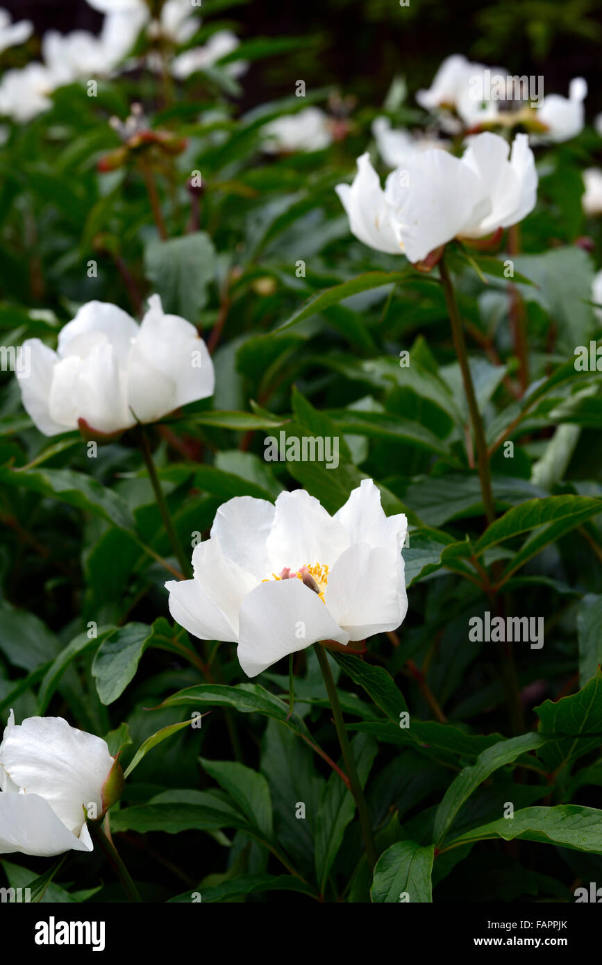 paeonia emodi white flowers Himalayan Peony Peonies flower flowering bloom blooming RM Floral - Stock Image