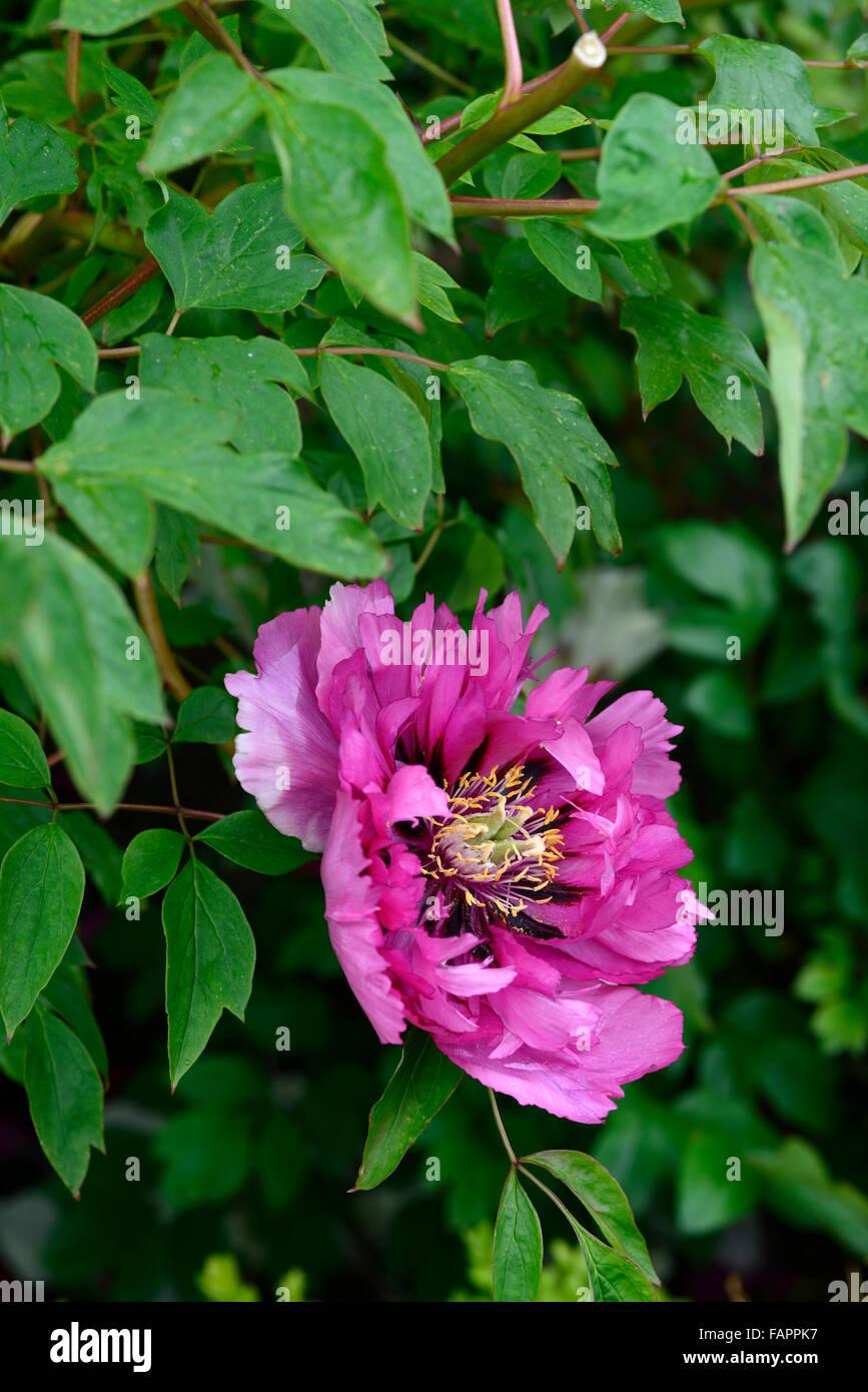 Paeonia Rockii Mei Gui Sa Jin Pink Flowers Chinese Tree Peony