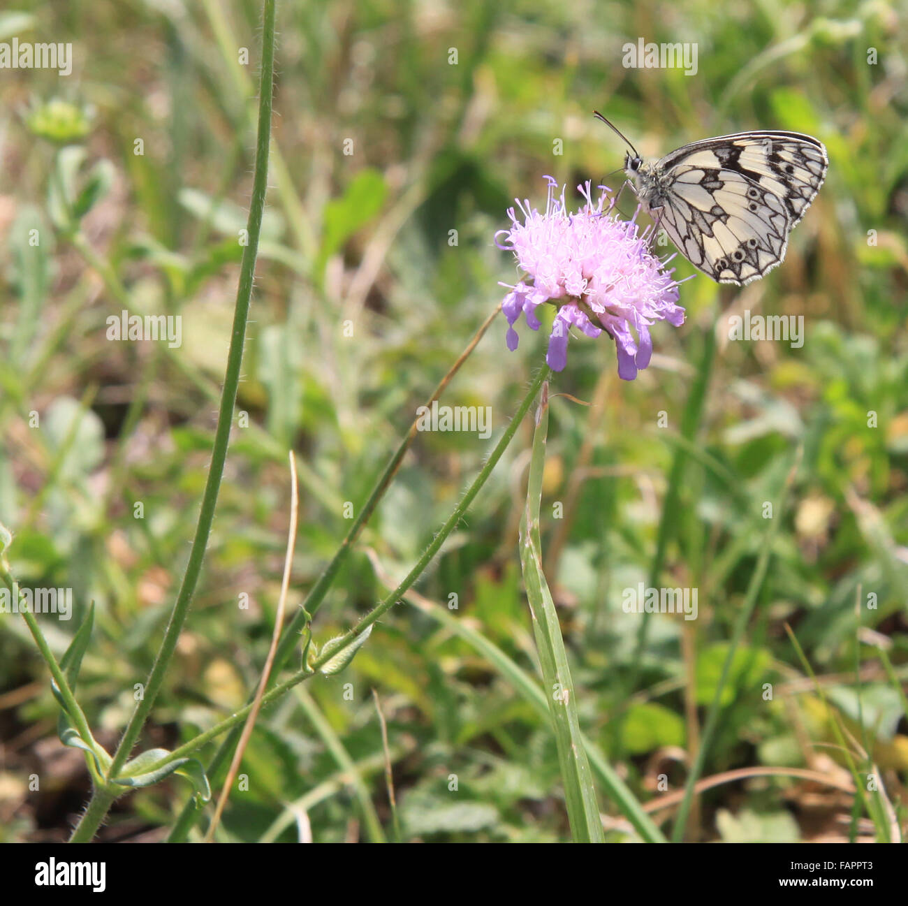 Marbled White Melanargia galathea butterfly on Knapweed flower England - Stock Image