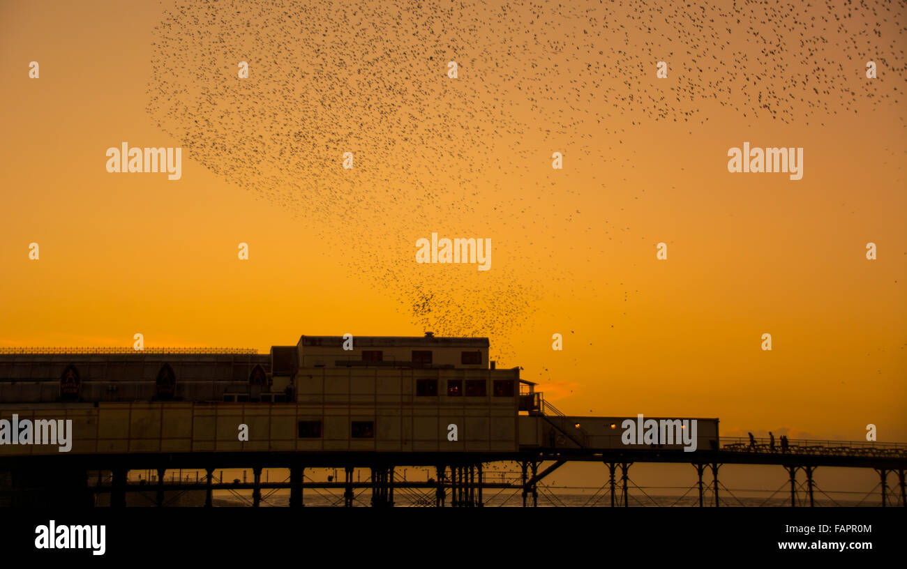Aberystwyth, Ceredigion, West Wales, UK. 03rd Jan, 2016. UK Weather.  A murmuration  of starlings perform off the - Stock Image