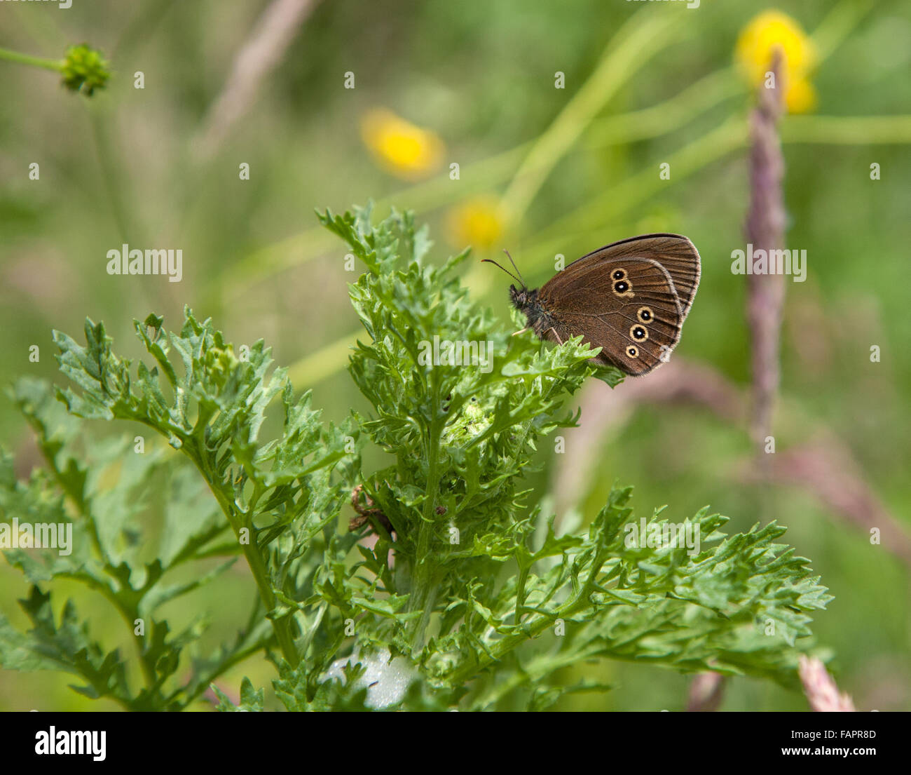 Ringlet Butterfly Aphantopus hyperantus in a Cheshire  England meadow - Stock Image