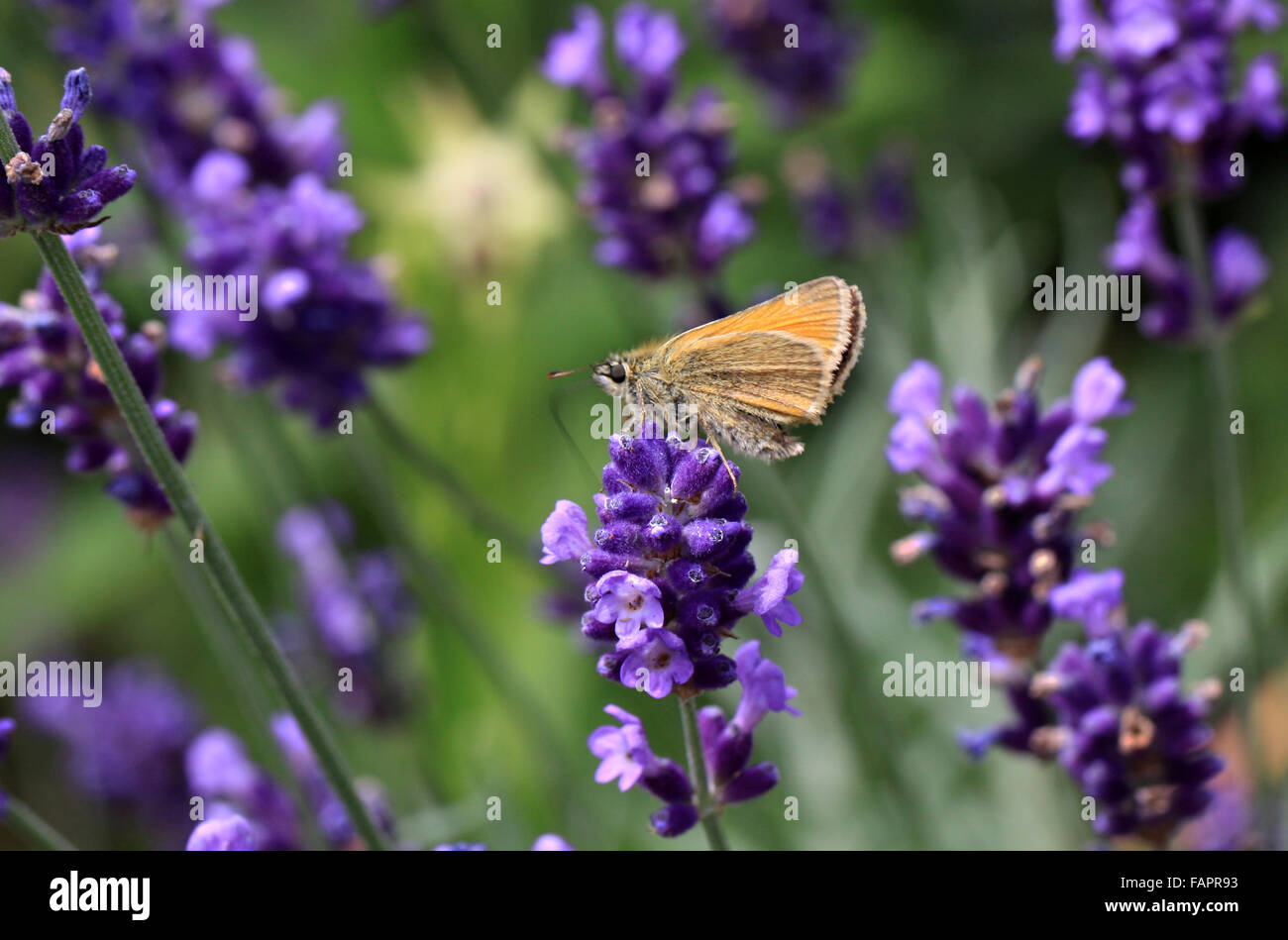 Small Skipper butterfly Thymelicus sylvestris on lavender flowers - Stock Image