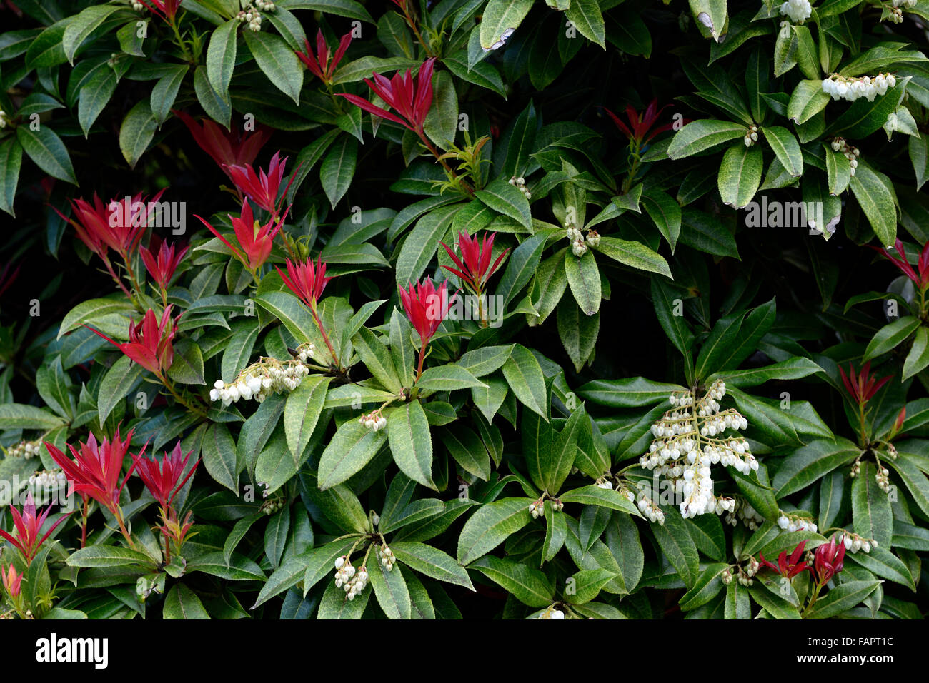 Pieris Formosa Var Forrestii Spring Growth White Flowers Red Leaves