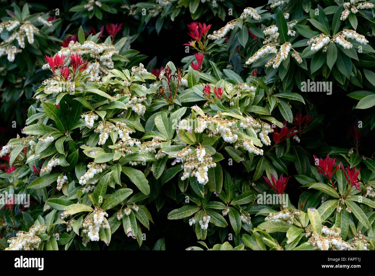 Pieris Formosa Var Forrestii White Flowers Flower Evergreen Shrub