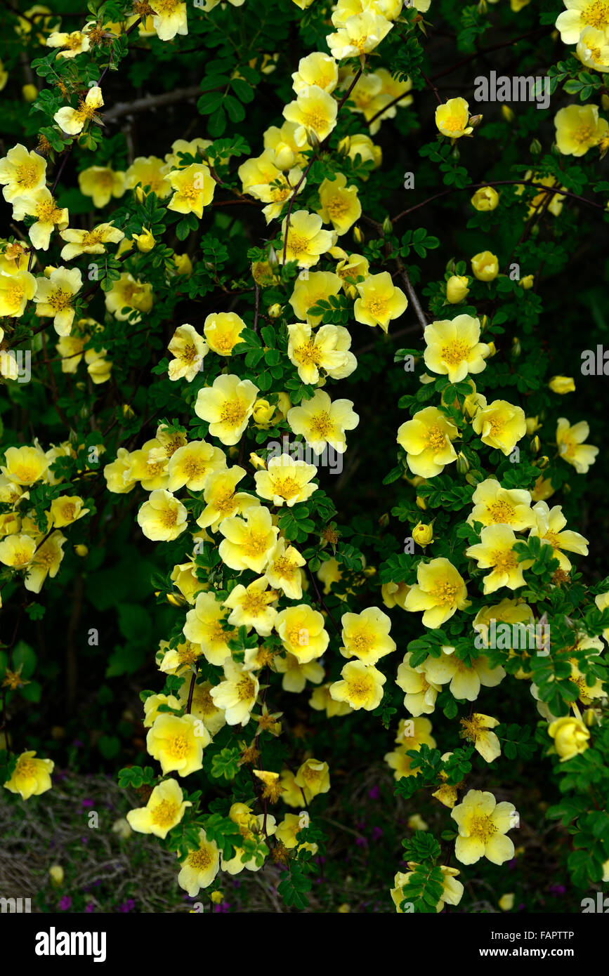 Rosa xanthina canary bird yellow flower shrub rose flowers clusters rosa xanthina canary bird yellow flower shrub rose flowers clusters flowers fern like foliage arching thorny stems rm floral mightylinksfo