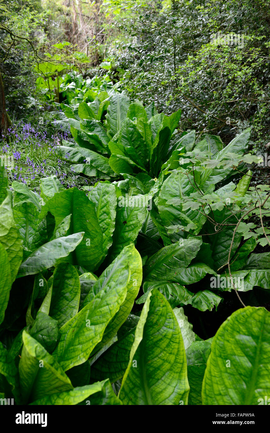 Lysichiton americanus yellow skunk cabbage foliage leaves spring perennials bog water aquatic plants RM Floral Stock Photo