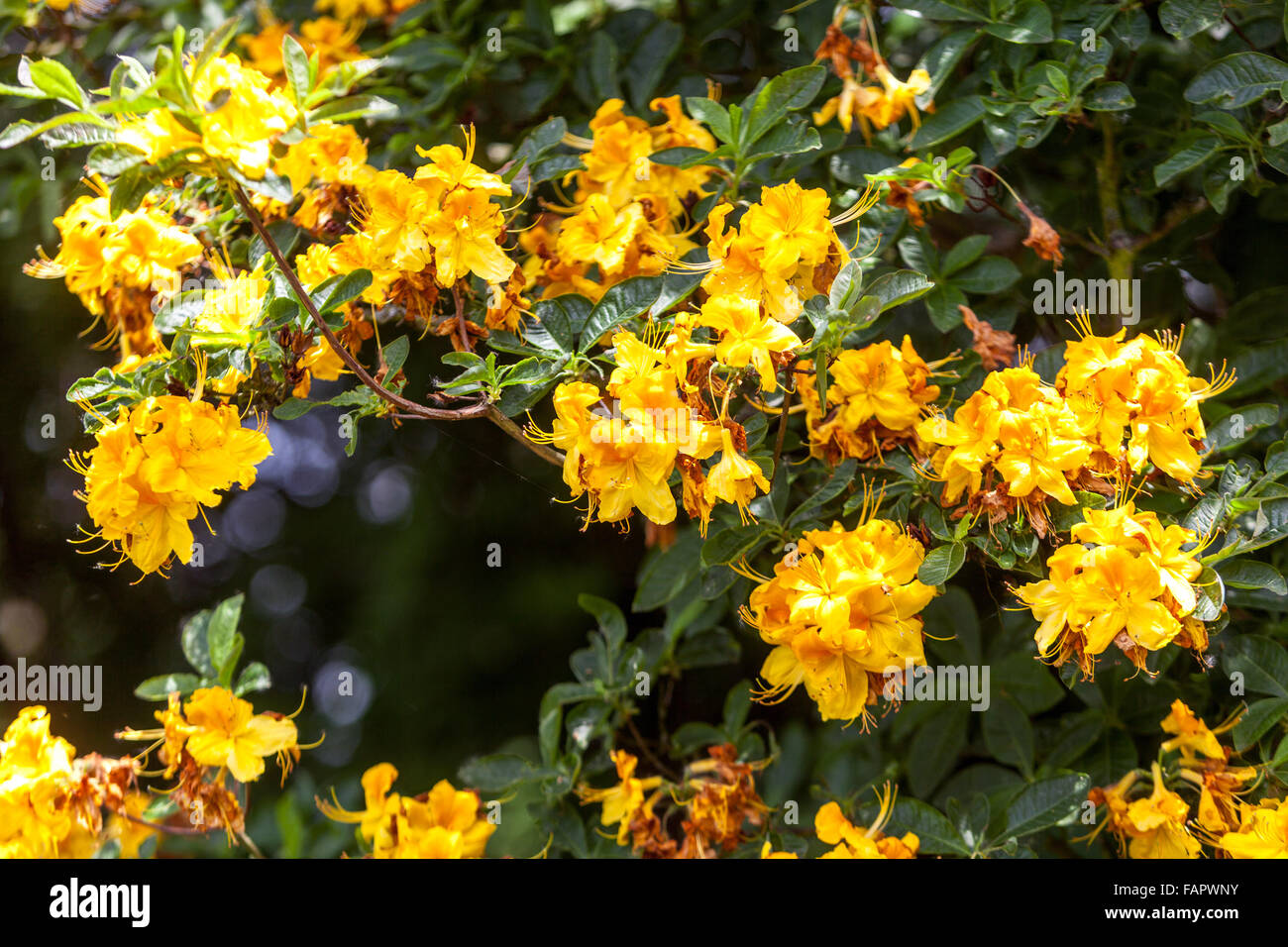Rhododendron luteum blooming - Stock Image