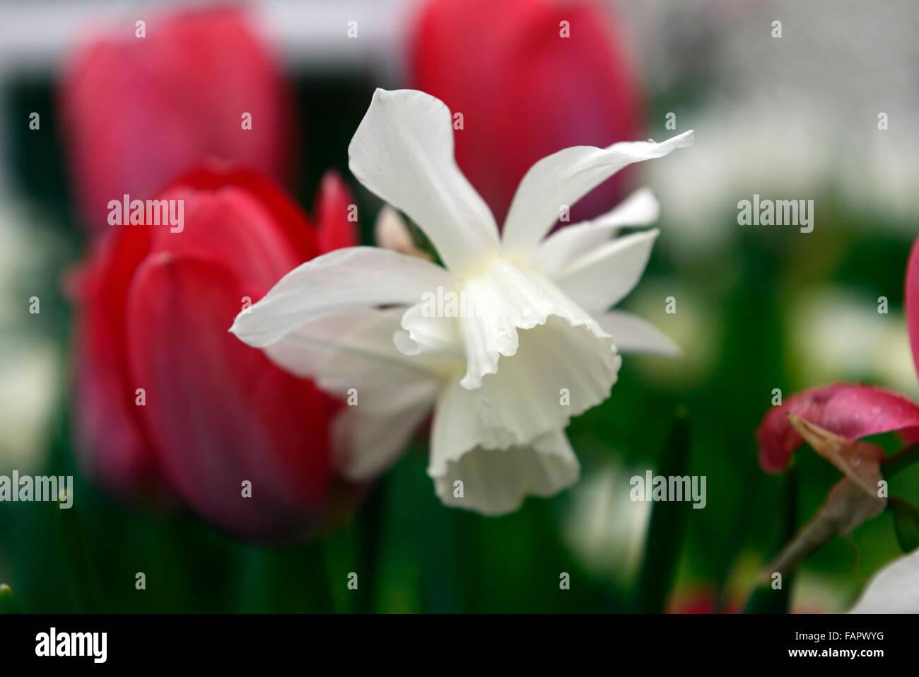 tulipa red impression narcissus thalia tulip daffodil red white ...