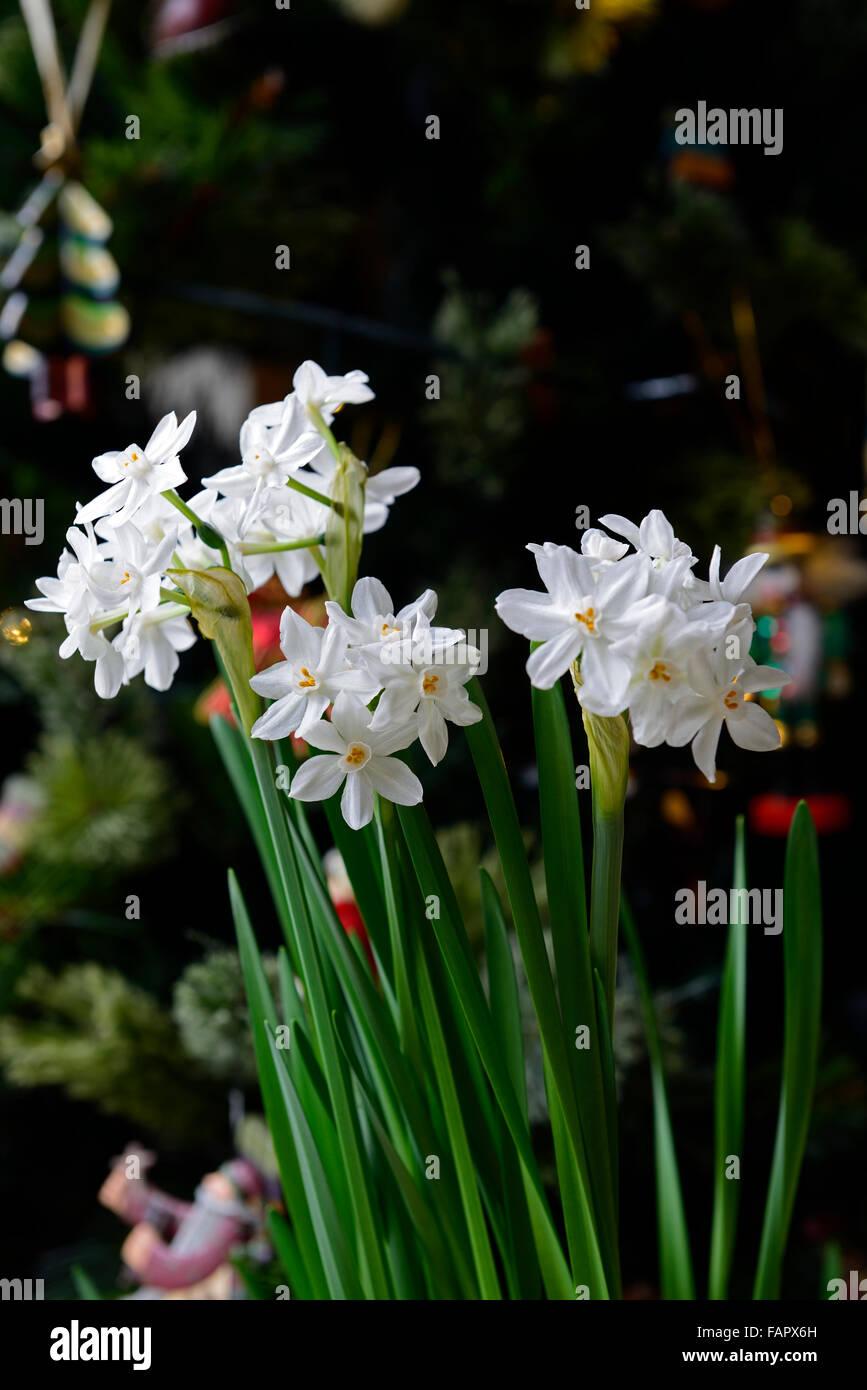 Paper White Flower Bulbs Selol Ink