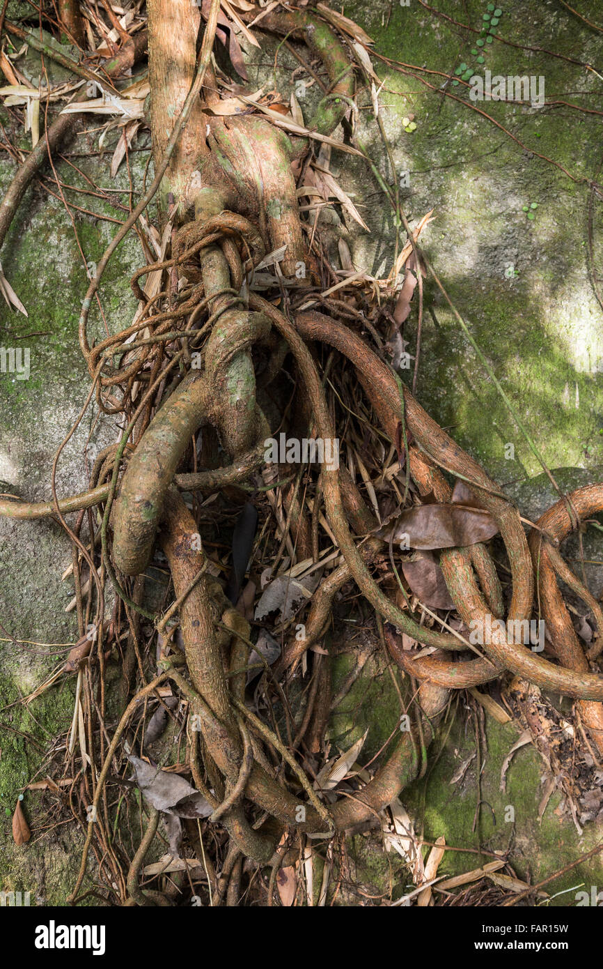 Tree's and climber's thick and thin roots tied up against a rock. - Stock Image
