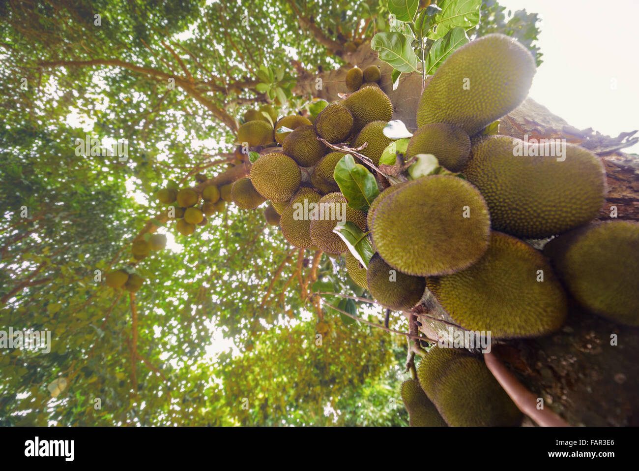 Jackfruit tree full of fruits. Image with depth of field and focus on center. - Stock Image