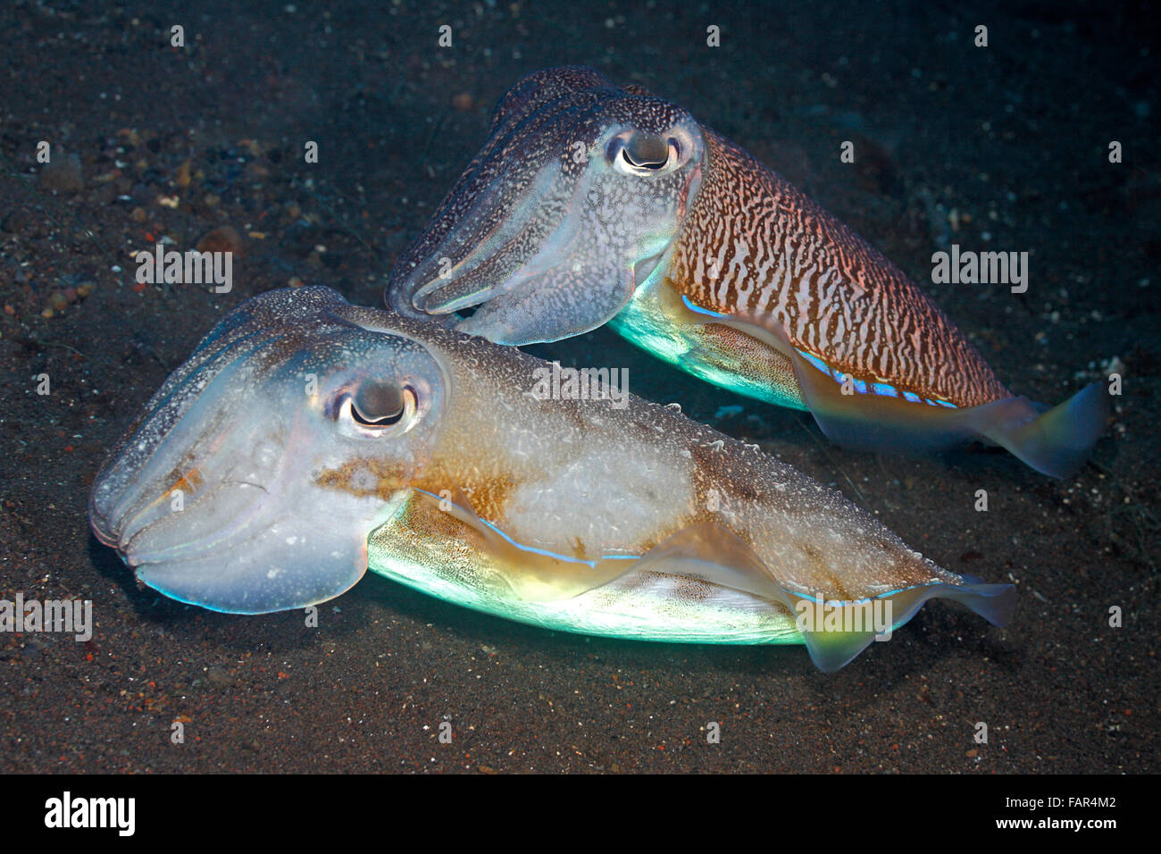 Pair of courting Cuttlefish, Sepia cf. pharaonis. Male above showing visual mating display and guarding his female - Stock Image