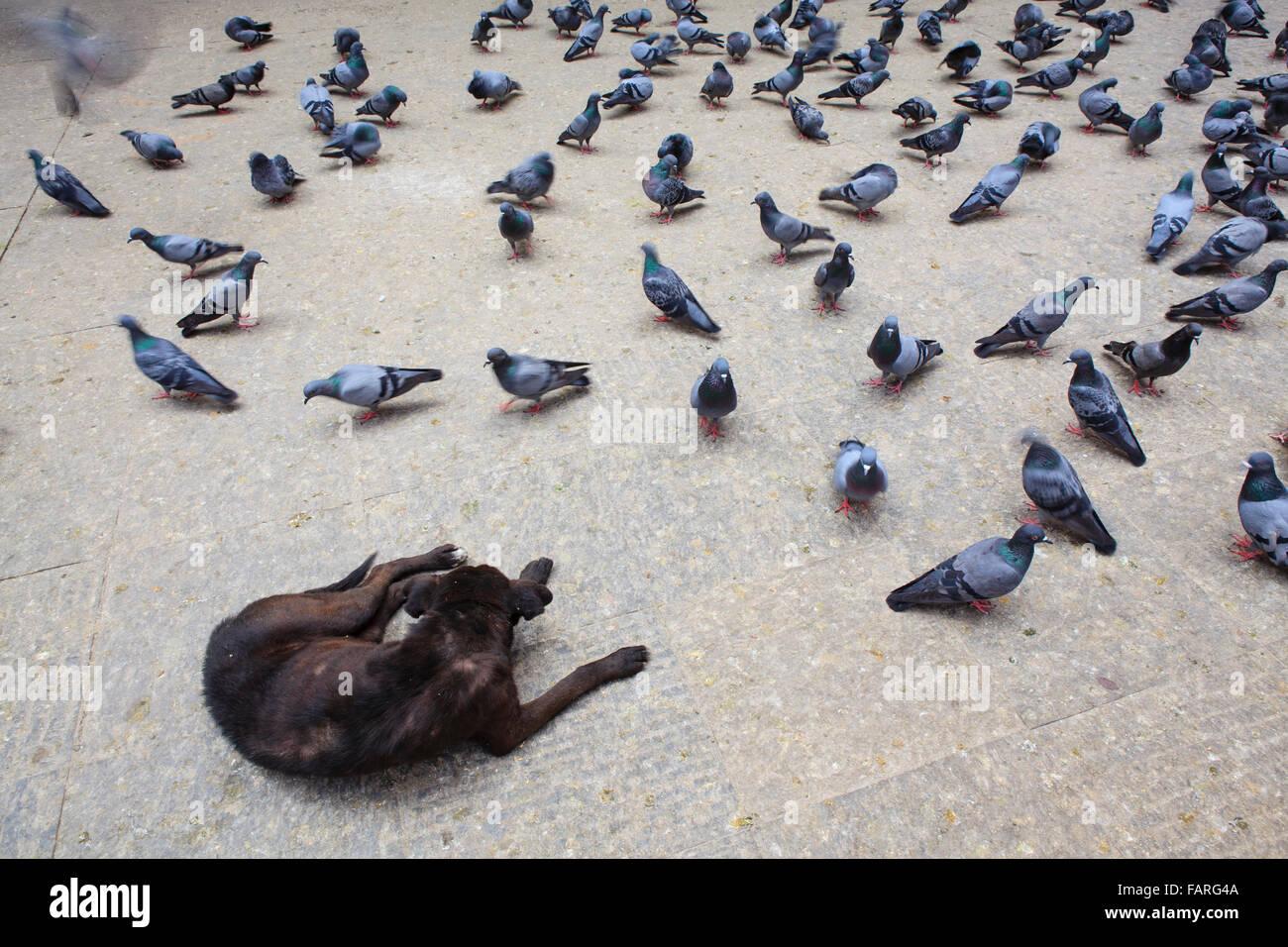 Black dog and pigeons in the street. Kathmandu. Nepal. - Stock Image