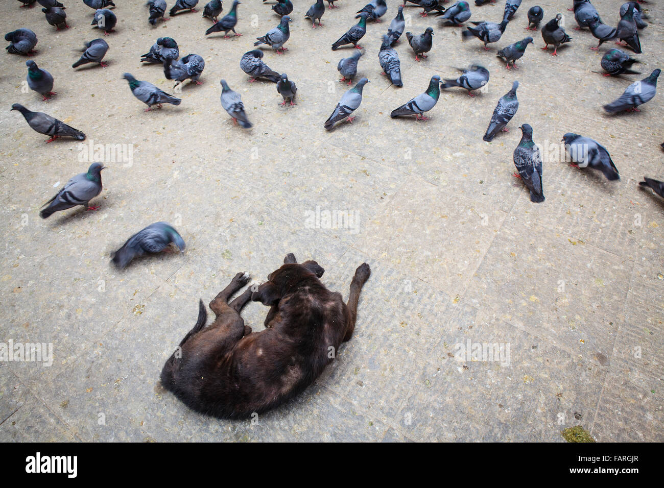 Black dog and pigeons in the street. Kathmandu. Nepal. Stock Photo