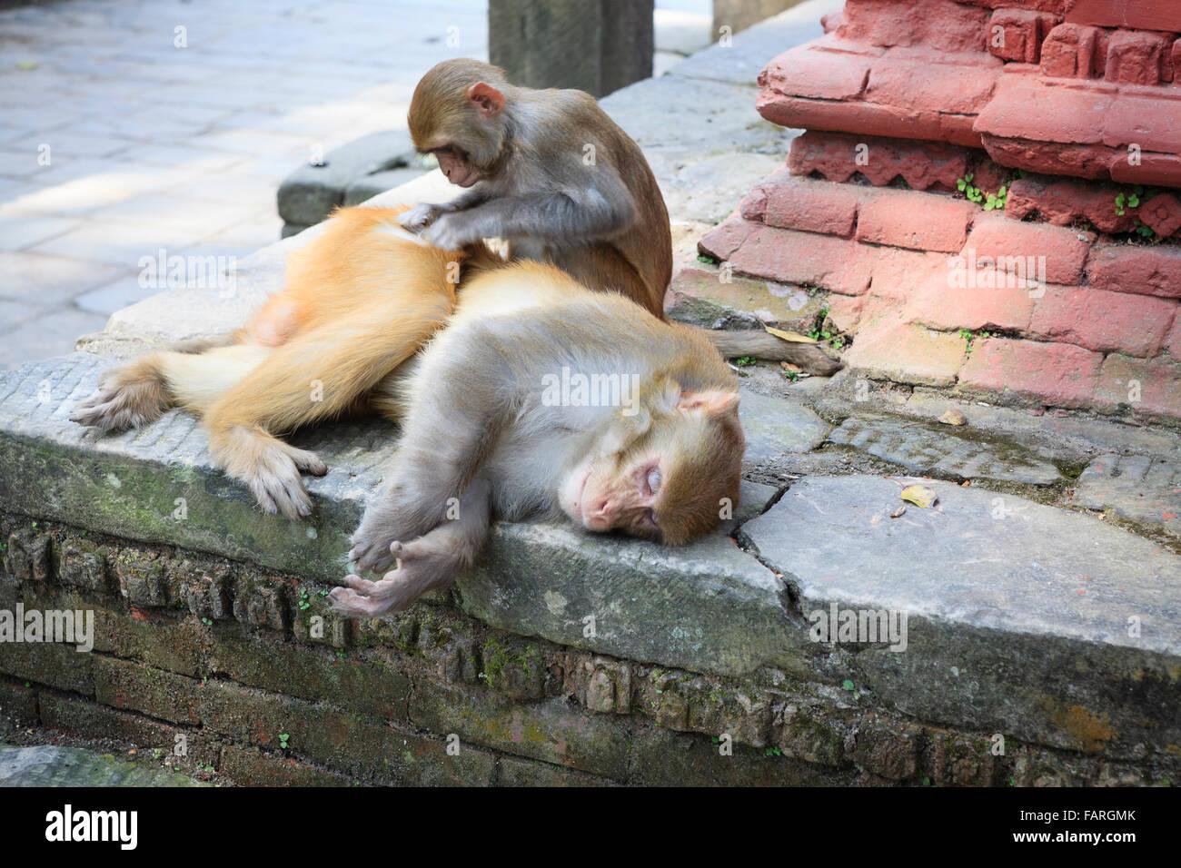 Rhesus Macaque (Macaca mulatta) grooming in the Pashupatinath Temple. Kathmandu. Nepal. - Stock Image