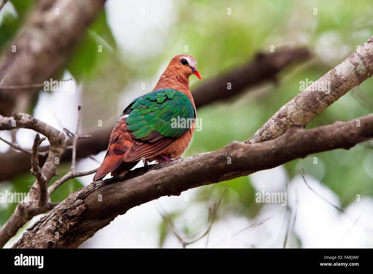 Emerald Dove Bird at Bandhavgarh National Park - Stock Image