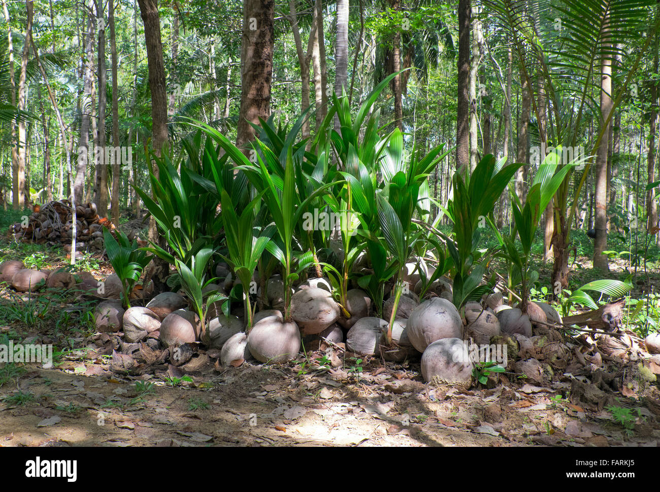 how to grow coconut from seed