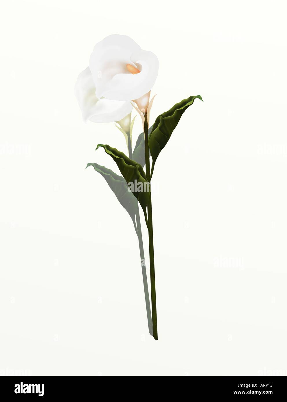 A beautifully perfect white calla lily flower isolated on white a beautifully perfect white calla lily flower isolated on white background calla lily very popular especially as a wedding fl izmirmasajfo