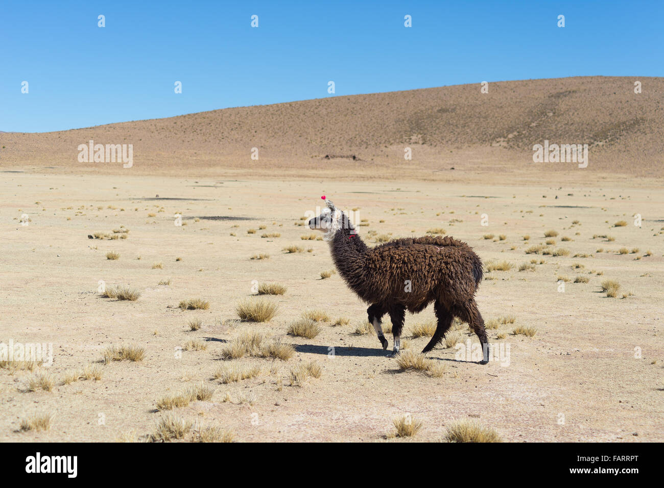 One single llama on the Andean highland in Bolivia. Adult animal galloping in desert land. Side view. - Stock Image