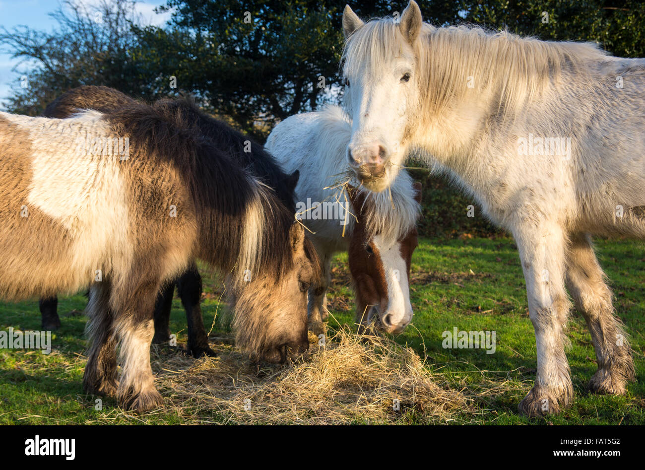 New Forest ponies tuck into their winter feed in the National Park, Hampshire, UK. - Stock Image