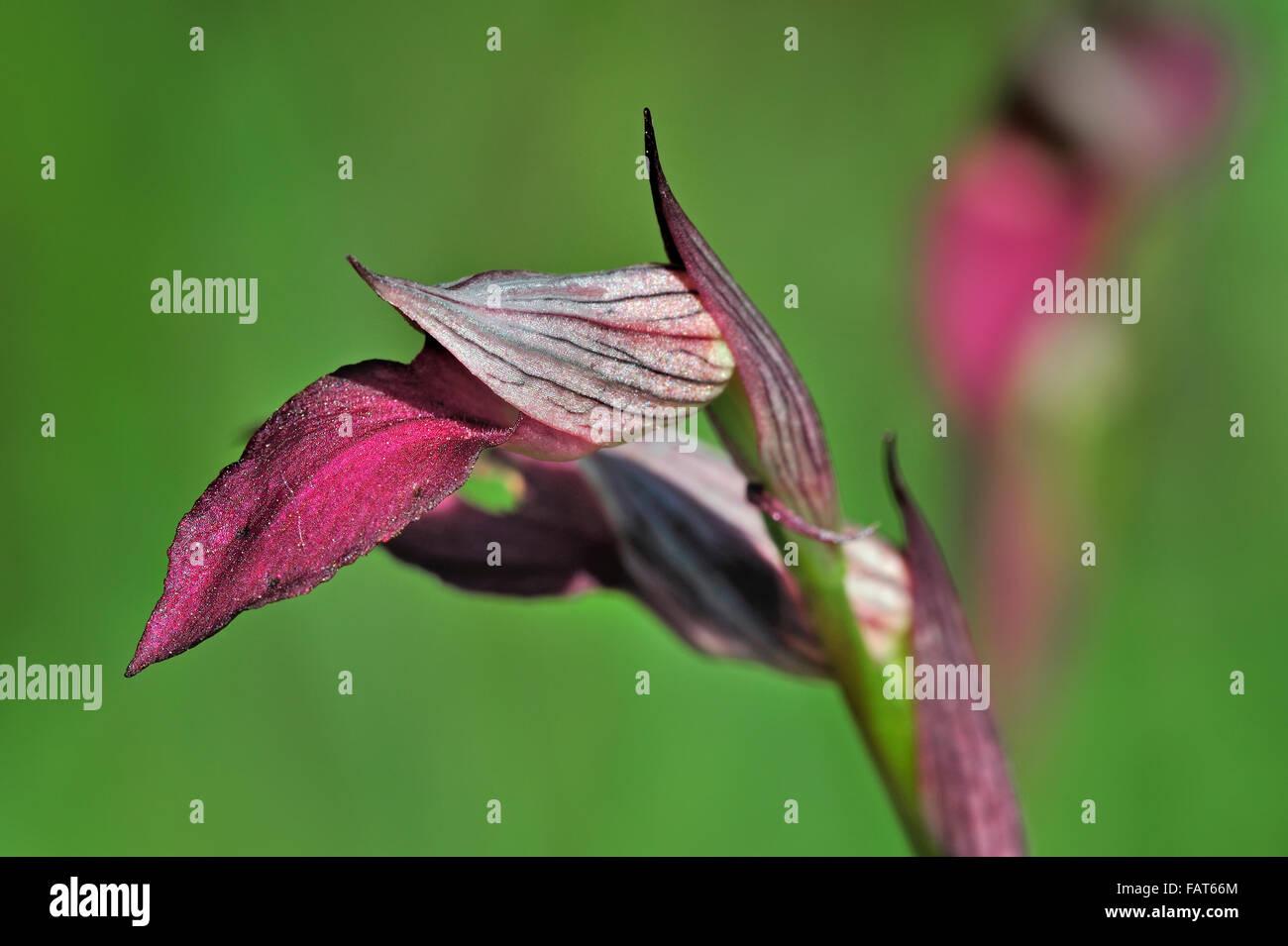 Tongue orchid / Tongue Serapias (Serapias lingua / Helleborine lingua / Orchis lingua) in flower - Stock Image