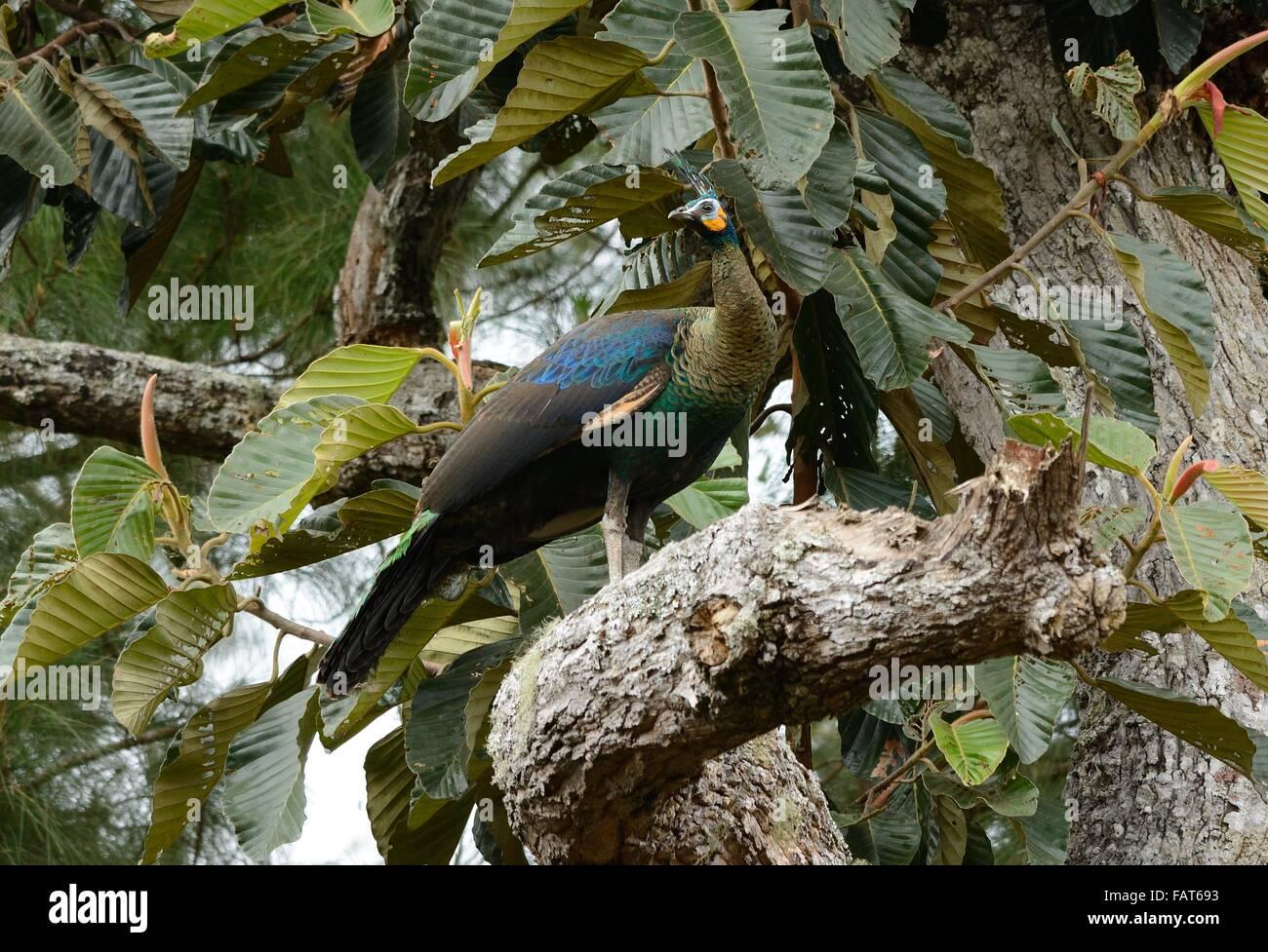 beautiful female Green Peafowl (Pavo muticus) inThai forest - Stock Image
