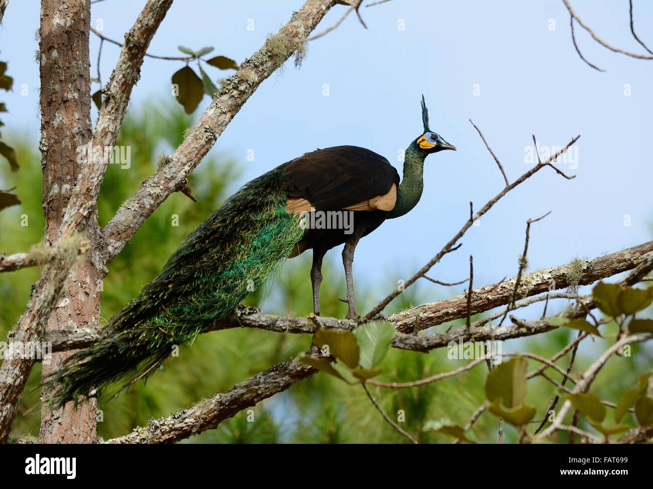 beautiful male Green Peafowl (Pavo muticus) inThai forest - Stock Image