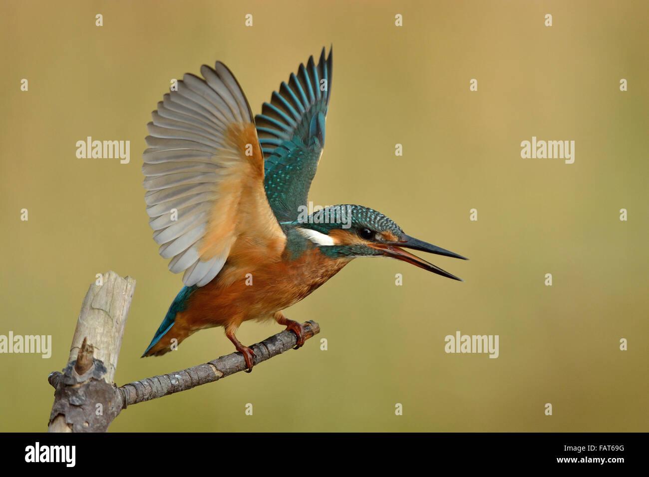Eurasian Kingfisher in territorial behavior - Stock Image