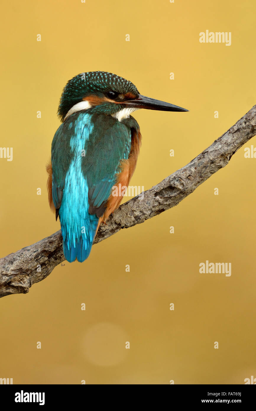 Eurasian Kingfisher on the roost - Stock Image