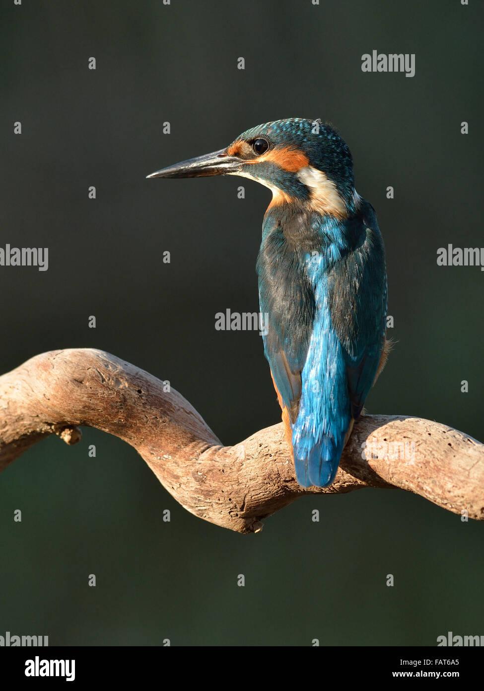 Eurasian Kingfisher on the branch - Stock Image