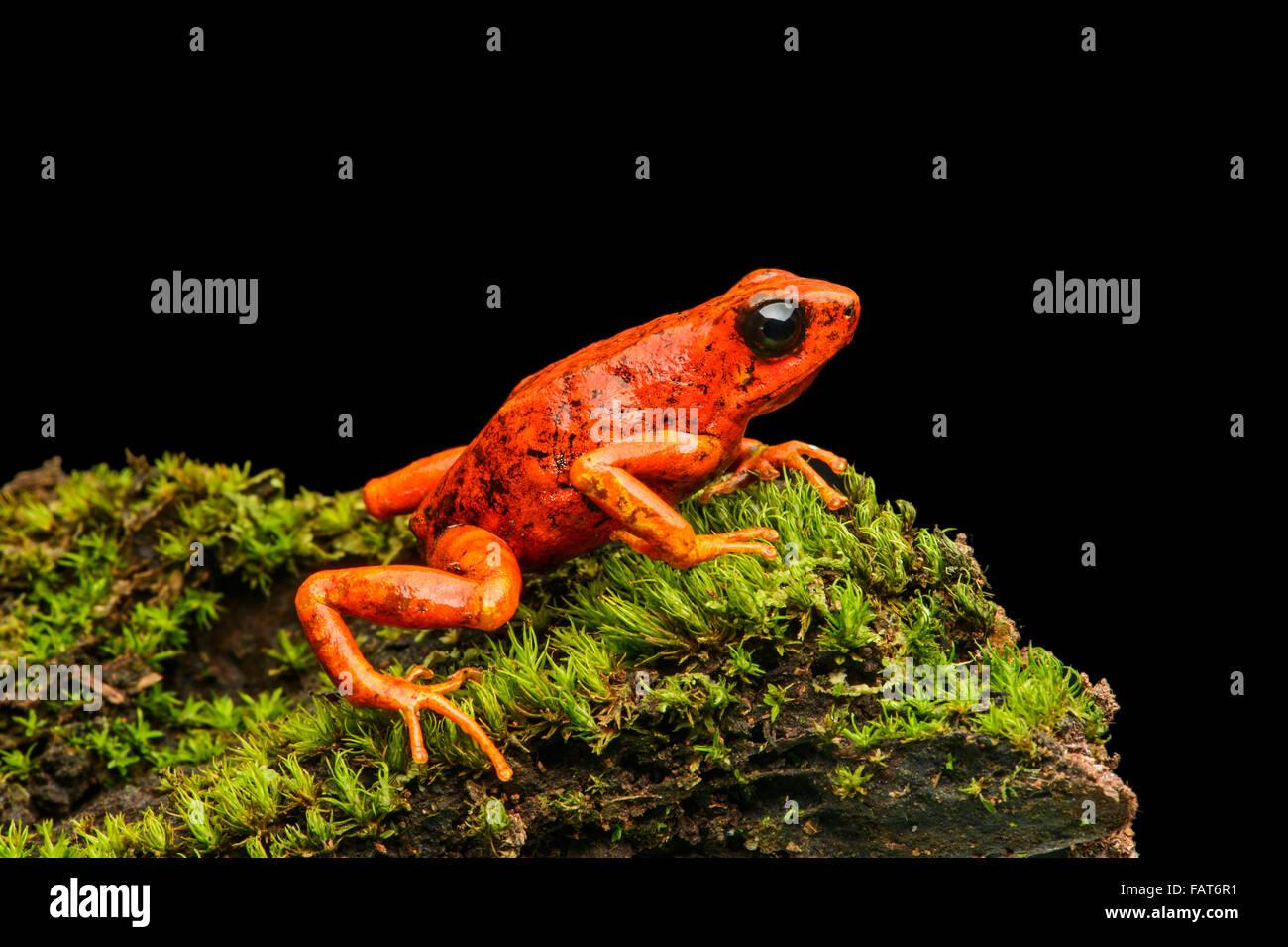 Little-devil poison frog or diablito (Oophaga sylvatica) on moss, Chocó rainforest, Ecuador - Stock Image