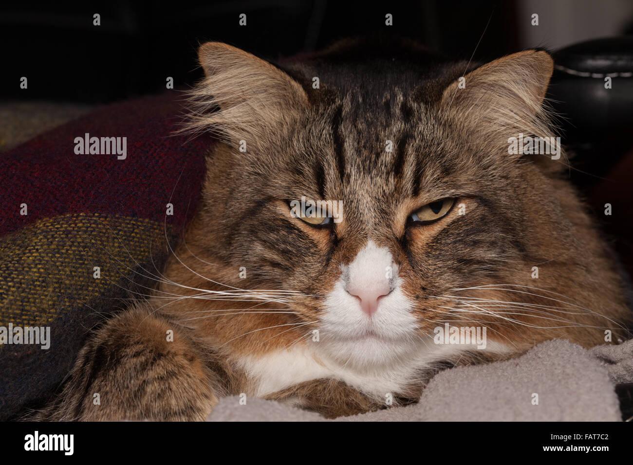 Long Hair Cat Portrait - Stock Image