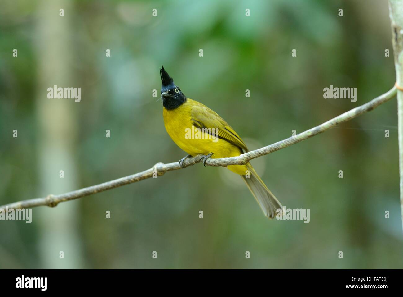 beautiful black-crested bulbul in the fruit tree - Stock Image