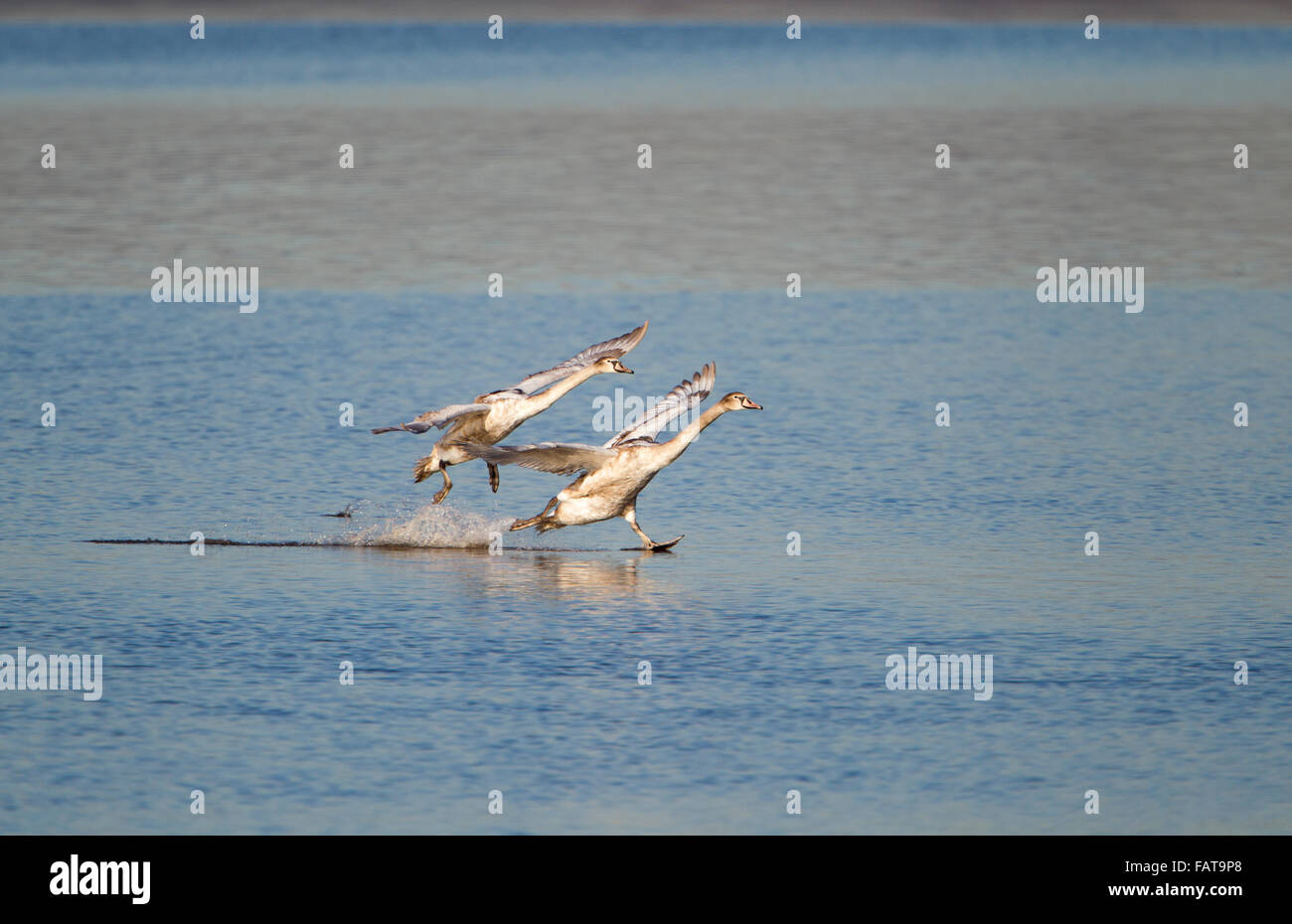 Mute Swan, Cygnus olor, two juveniles running across water, Stock Photo