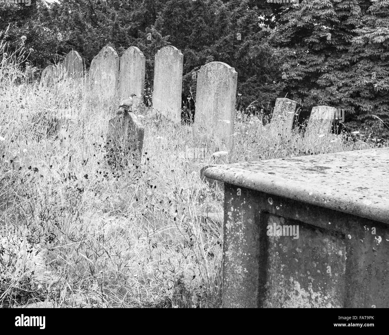 Graveyard pigeon. - Stock Image