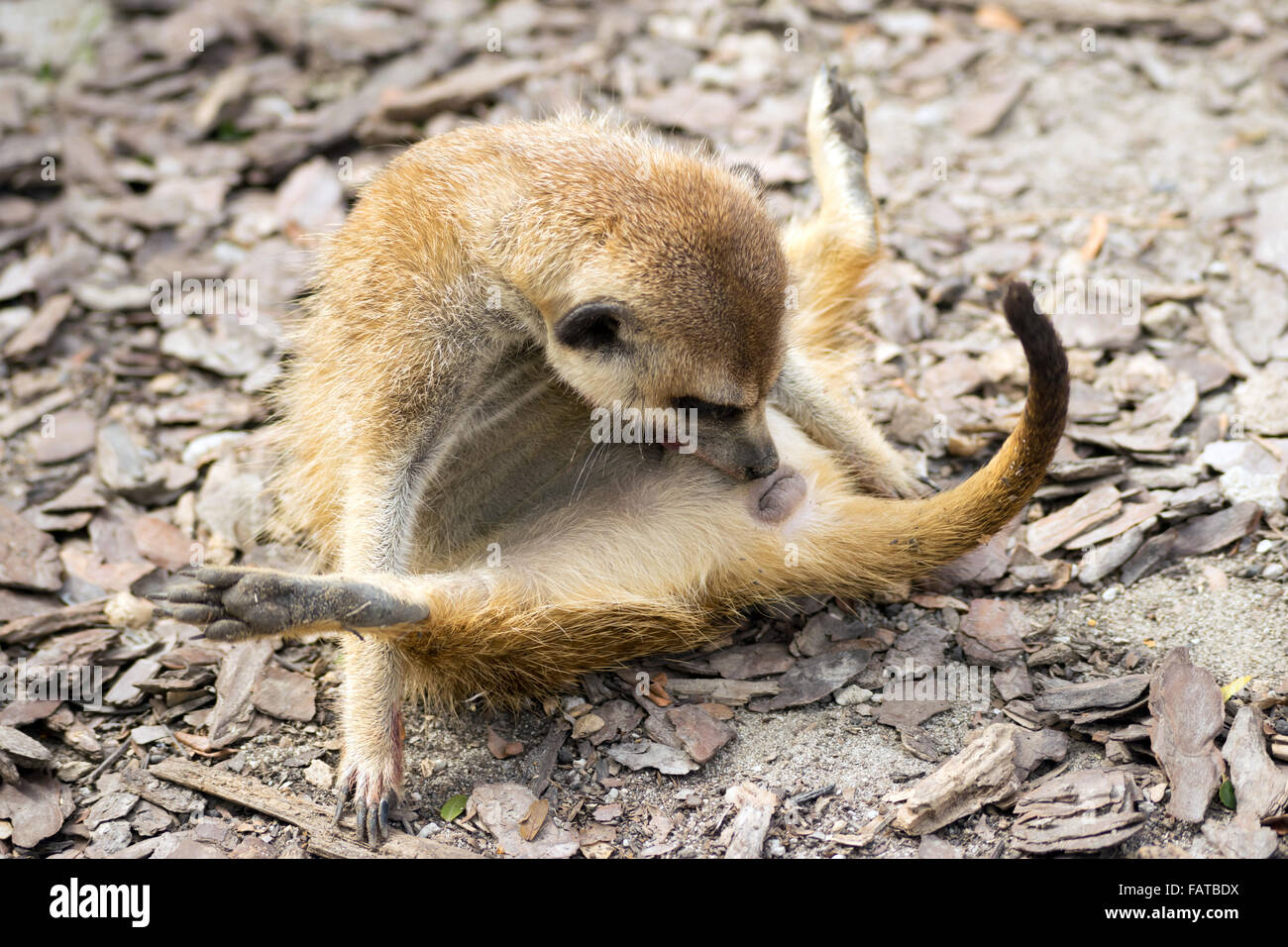 Meerkat (Suricata suricatta) in funny position - Stock Image
