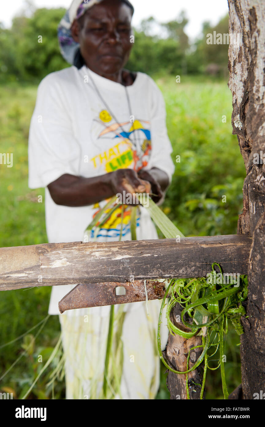 Woman pulling Sisal leaf through a homemade stripper to get fine fibres to make rope. Kenya. - Stock Image