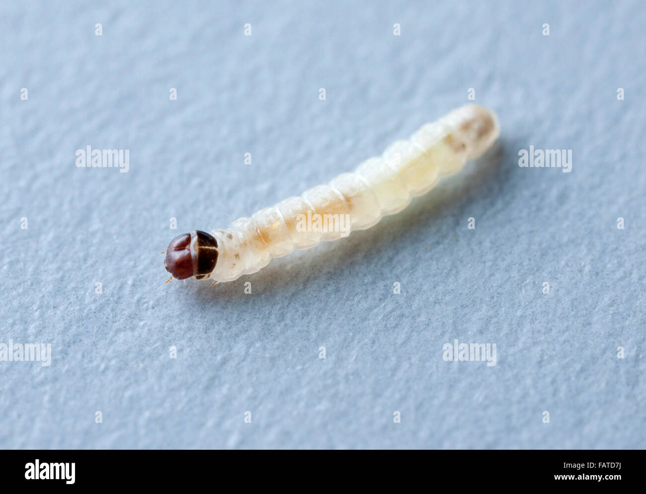 Larva Of Tineola Bisselliella Common Clothes Moth Stock Photo