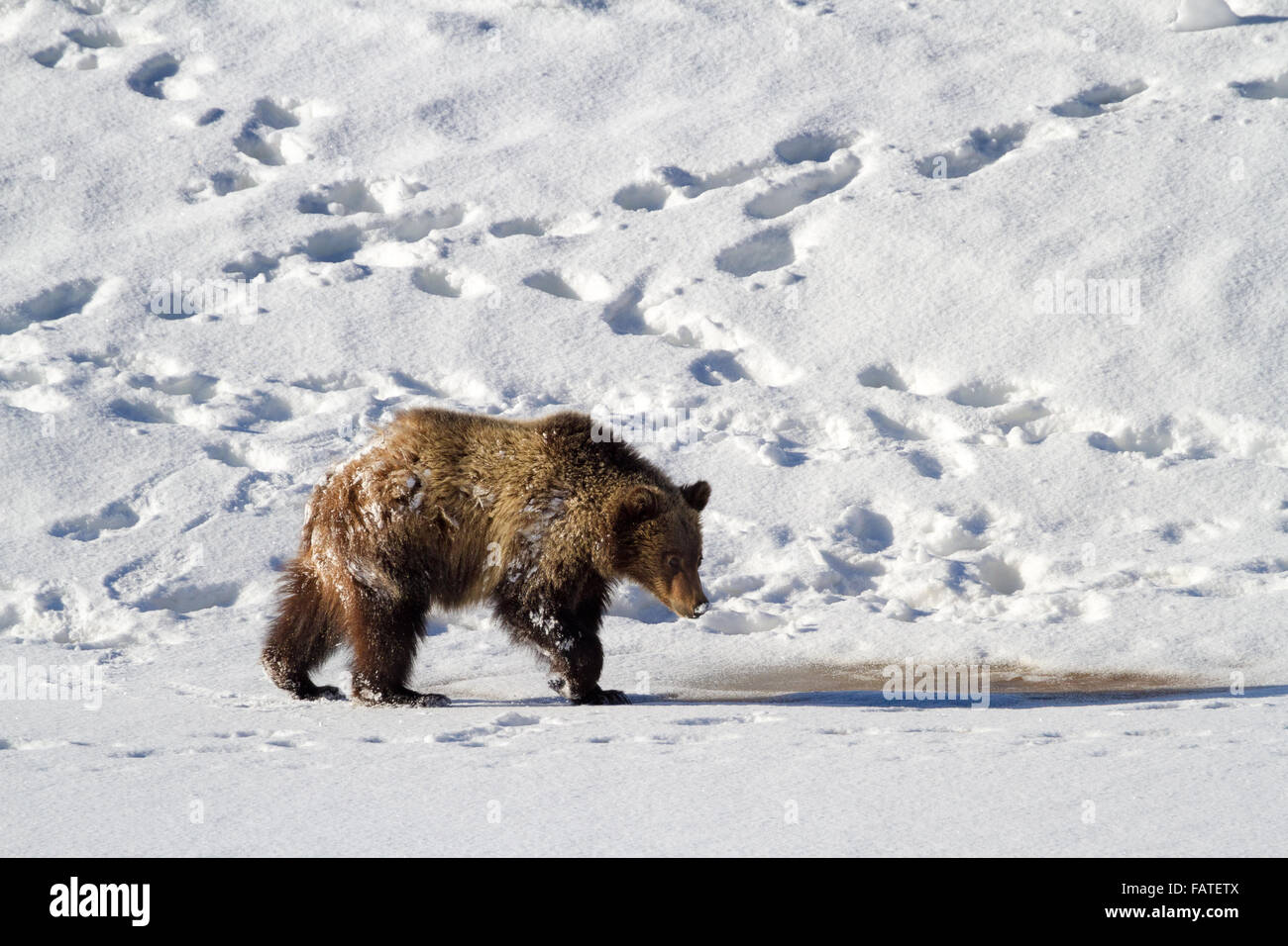 A cub of Grizzly Bear #610's walks along the frozen shores of Oxbow Bend in Grand Teton National Park as bear - Stock Image
