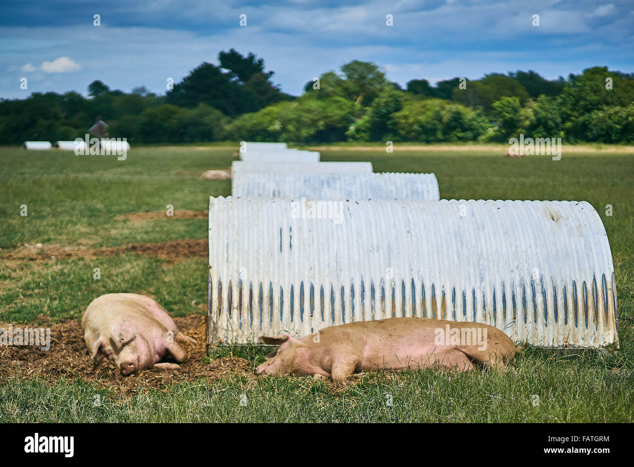 Free Range Organic Pig Farm with pig shelters - Stock Image