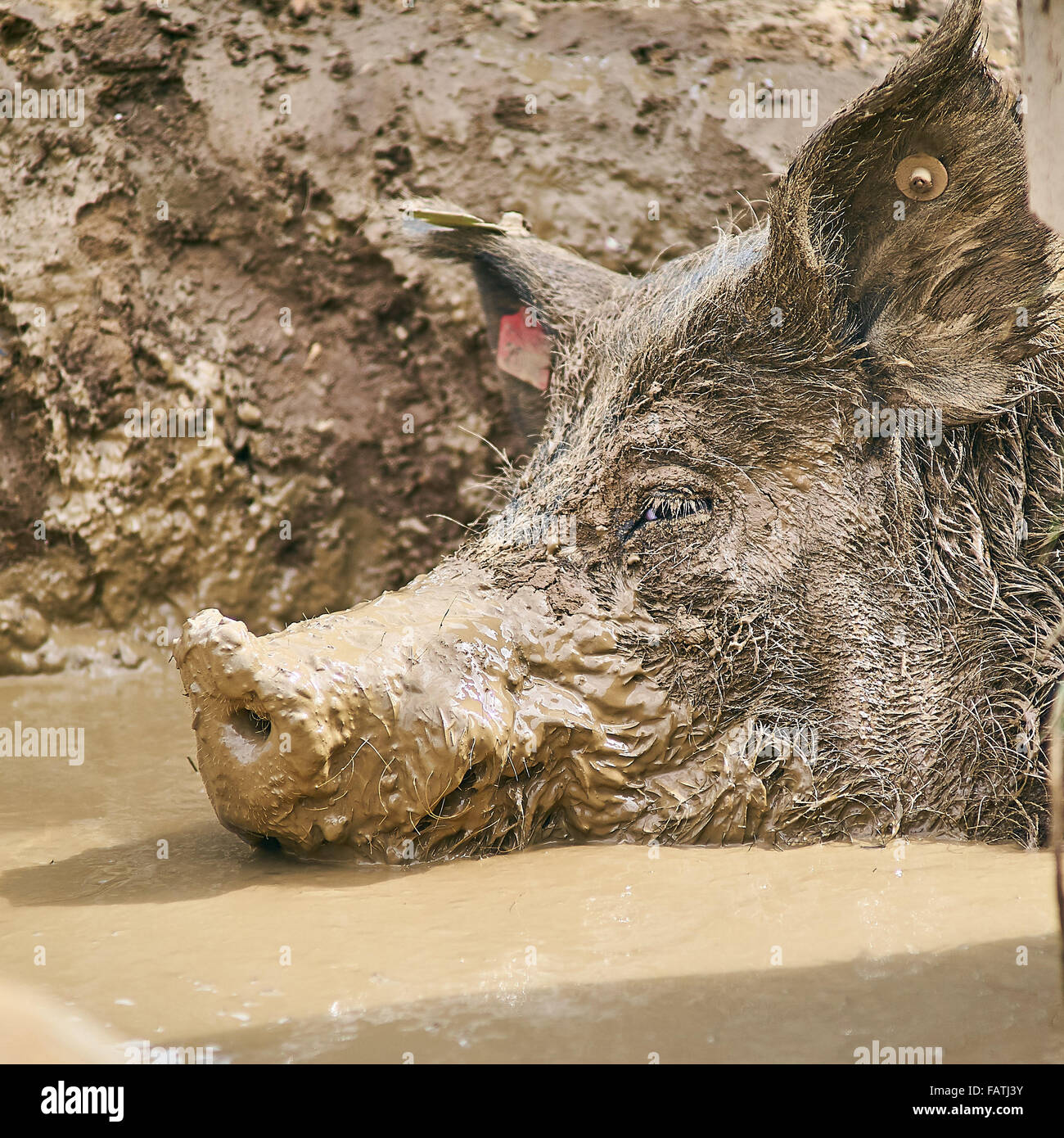 Head shot of a Free Range Pig wallowing in mud - Stock Image