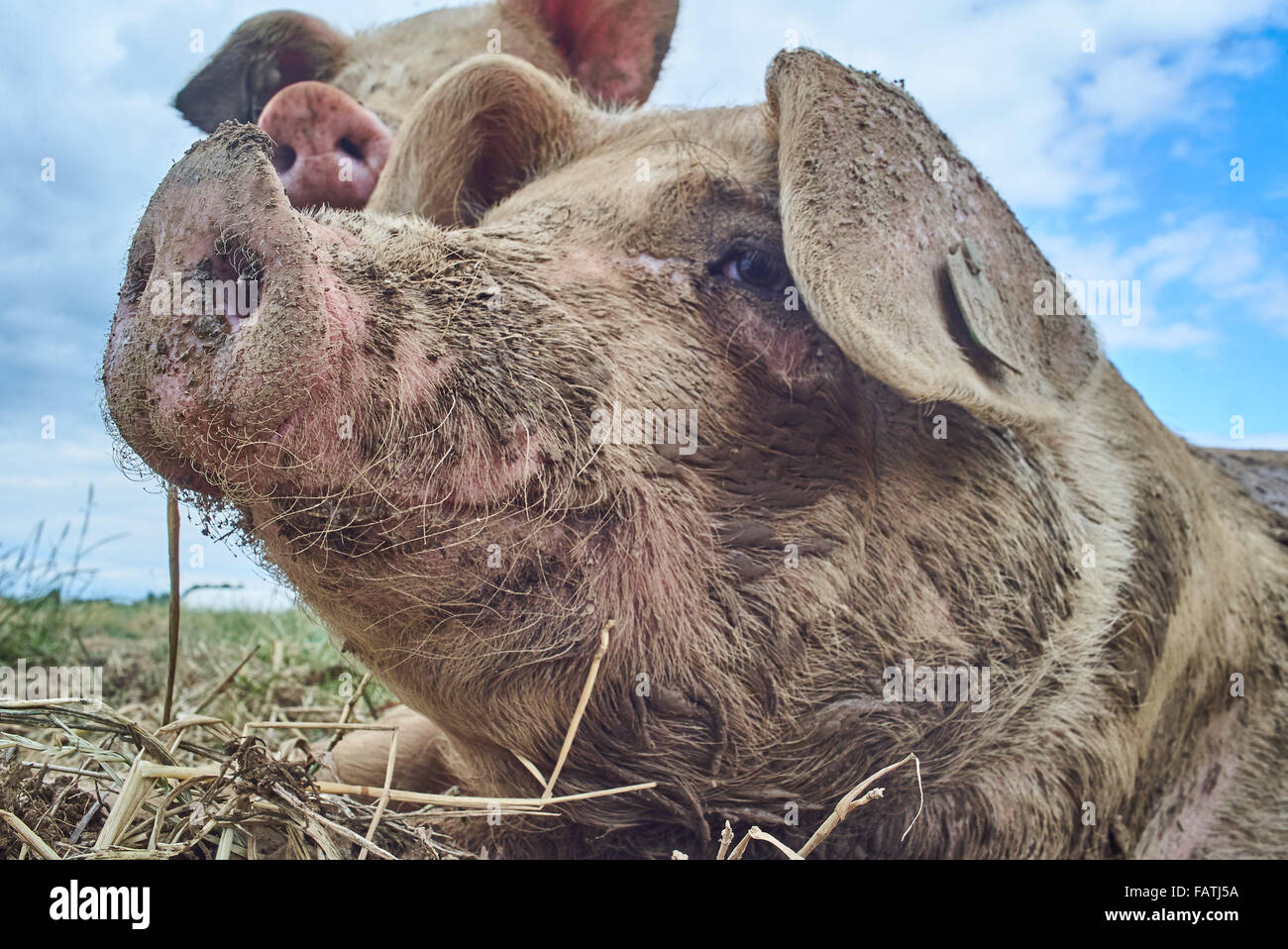 Close up Head shot of free range organic pigs in a field - Stock Image